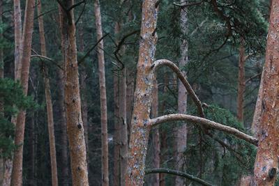 Сосны. сосны лес деревья природа