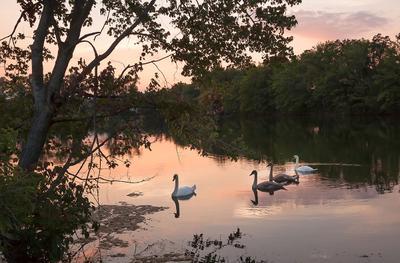 Семейка пейзаж природа закат птицы лебеди семья
