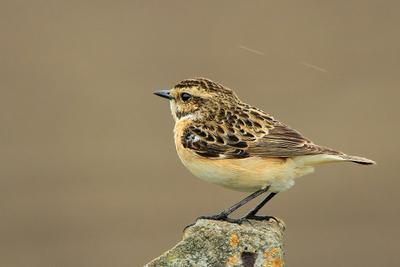 На пьедистале ... Природа птица Лугово й чека н Saxicola rubetra