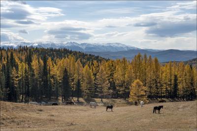 Алтайская осень Алтай осень горы лиственницы лошади облака
