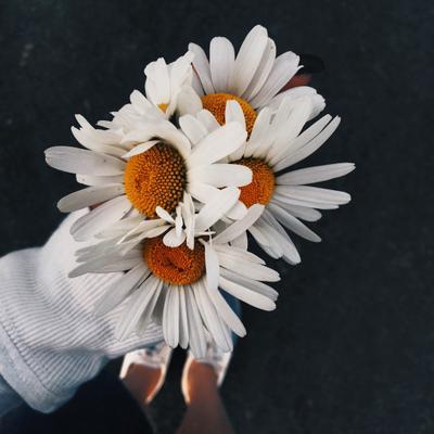 любимые цветы ромашки цветы природа