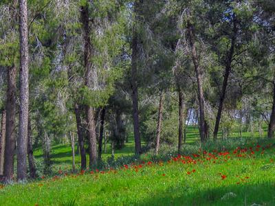 В февральском лесу лес цветы анемоны Израиль