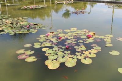 Водяные лилии Водяные лилии природа Посмотреть