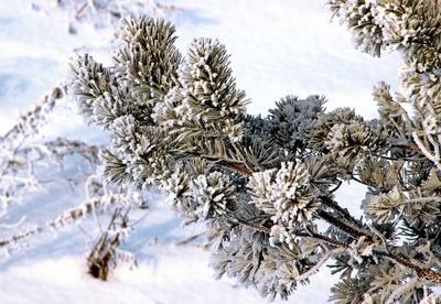 Пушистая ветка сосны зима лес Россия Сибирь снег иней