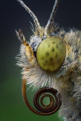 Портрет бабочки Белянки. бабочка портрет макро насекомые природа глаза взгляд