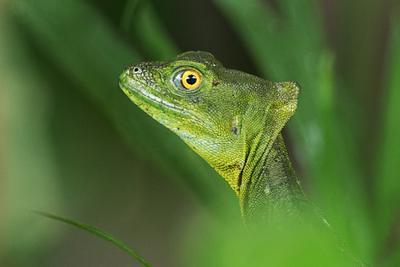 Шлемоносный василиск, самка, The common basilisk (Basiliscus basiliscus) Costa Rica. Шлемоносный василиск The common basilisk Basiliscus basiliscus Costa Rica