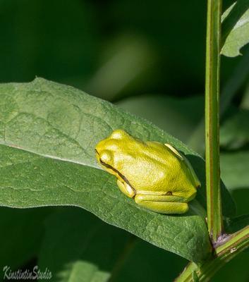 ***Лягушка ...На листочке..*** Лягушка растение лето июль
