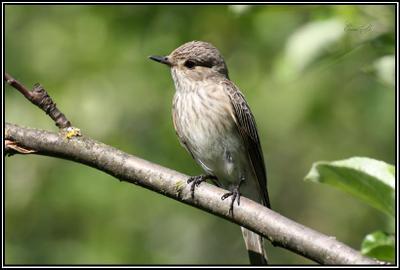 Мухоловка птица дача мухоловка лето