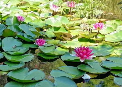 Водяные лилии лилии