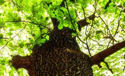 Дуб. дуб фокус листья натюрморт