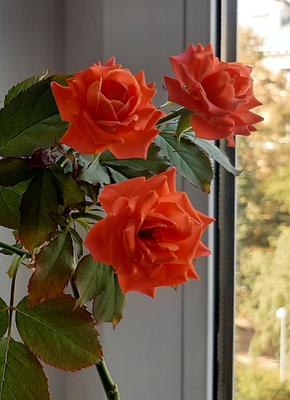 Моя красавица, Роза!