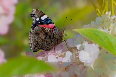 В краю гортензий бабочка адмирал
