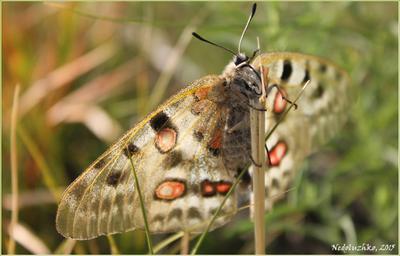Алтайский аполлон бабочка Аполлон Алтай