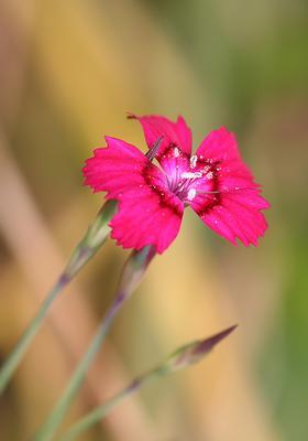 *** цветок, макро, дикая, гвоздика