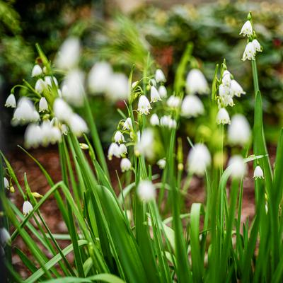 А вот и ландыши! ландыши цветы disfoto leica summilux mai spring blumen flower nature