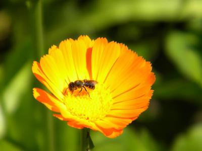 Пчелка Пчелка на цветке