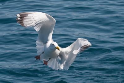 *** Байкал чайка
