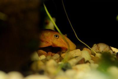 Прятки сом аквариум