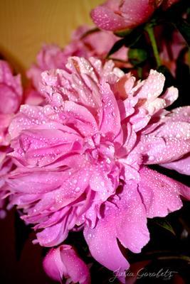 *** JuliaGorobets.photosight.ru цветы