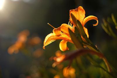 вечерняя лилия цветок лилия лепестки оранжевый солнце свет вечер