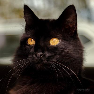 Котэ Кот Котик Кошка Животные Черная