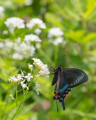 Парусник Маака парусник Маака Papilio maackii Приморье Владивосток остров Русский