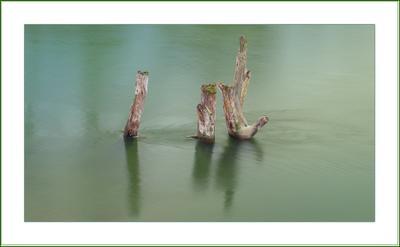 застывшее мгновенье... река, дерево, течение, коряга, Сейм