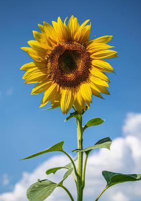 как солнышко подсолнух цветы