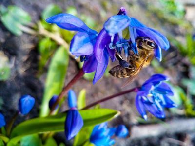 ***пчелка???? Пчела подснежники природа цветы