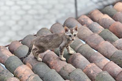 Непальский котик... Непал котик