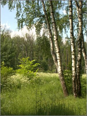 Погода летняя. трава кусты березы
