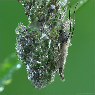 Корона Росистой Империи комар роса