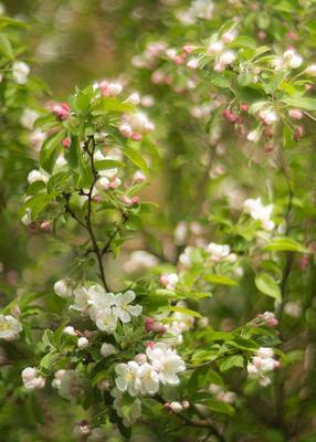 *** Яблоня цветение