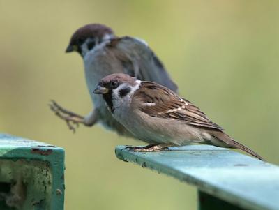Воробушки птицы воробьи