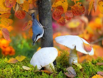 В осеннем лесу 3 природа птицы фотоохота поползень осень грибы
