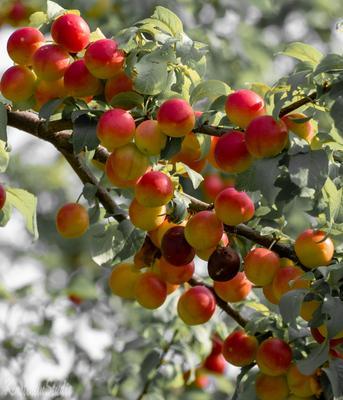***Алыча..Богатый урожай 2021 года*** Алыча слива лето август