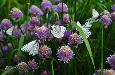 Нахаляву и лук сладкий ))) бабочки лук