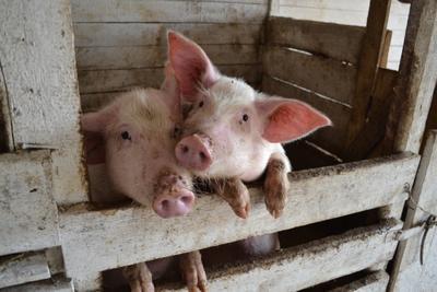 ***Любопытные свинюшки свинки
