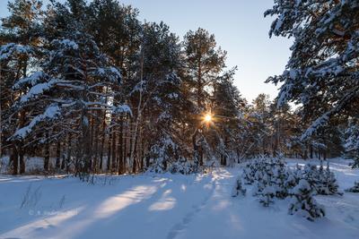 Солнце пробивается сквозь сосны зимний пейзаж солнце деревья