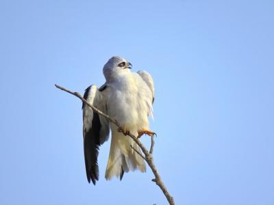 Чернокрылый дымчатый коршун коршун птица