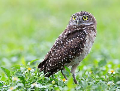 Burrowing Owl - Кроличий сыч