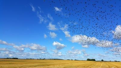 ***птицы над полем