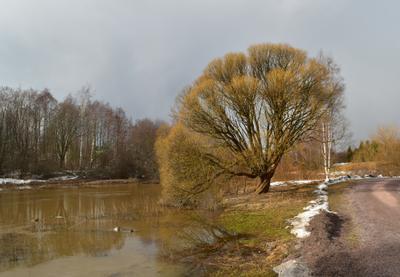 Мартовское дерево (2) Ива ломкая или ракита Salix fragolis март река Керава Хельсинки Финляндия Keravanjoki Helsinki Finland