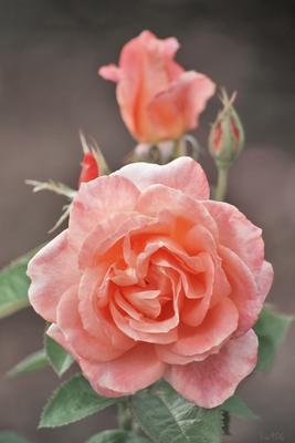 *** природа цветы роза розы rose
