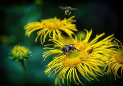 *** цветы лето июль шмель жара макро