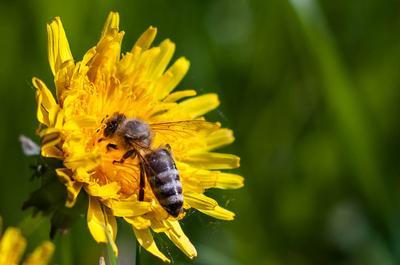 Пчелка труженица пчела лето цветок
