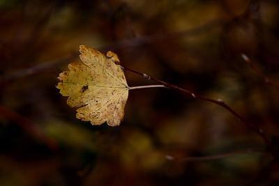 Скоро-скоро и он покинет ветку.. Как все его соседи и.. все соседки.. осень природа листья
