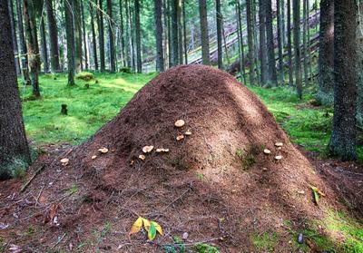 дом муравейник лес сосны лето