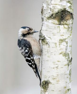 Малый пёстрый дятел птицы природа зима весна лес Москва