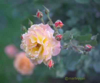 **к1 розы цветы